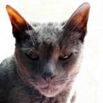 Gris gris-cat