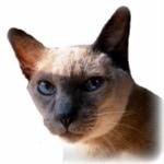 merlin-siamese-cat-catwisdom101