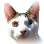Odin-cat