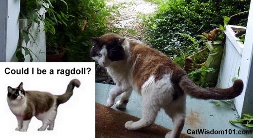 cat-purina-ragdoll-domino