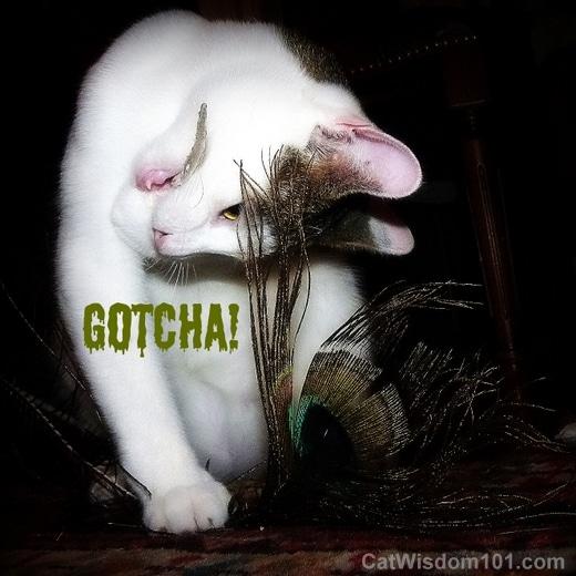 cat-peacock-feather-humor-gotcha