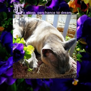 cat wisdom-to sleep-perchance- to dream-quote-merlin