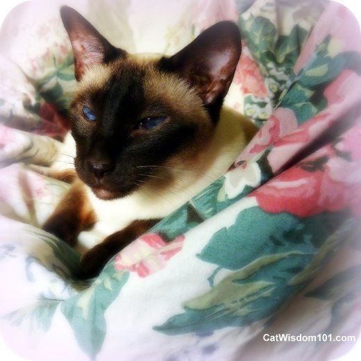 Siamese-foster-cat-ling ling-portrait