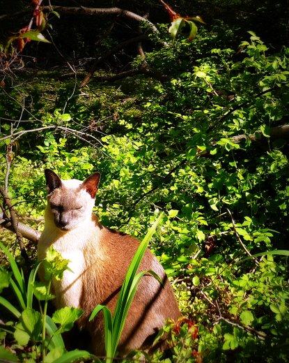 cat-siamese-meditating-woods-zen