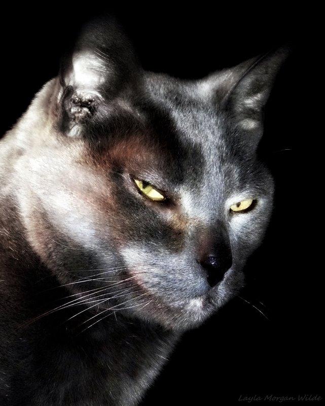 Gris gris head shot-feline-photography