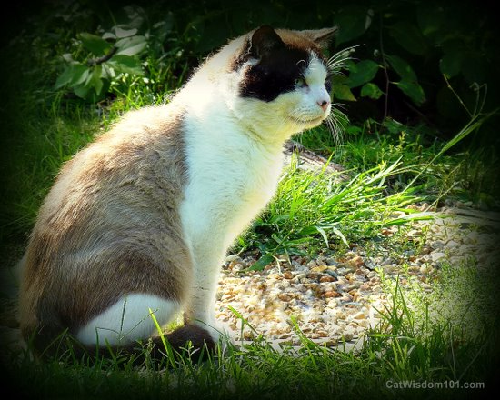 cat-portrait-outdoors-feral-domino