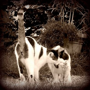 cats-headbutt-love-sepia
