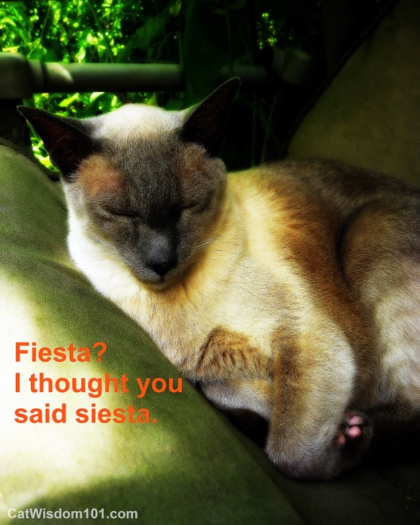 funny-cat-fiesta-siesta-siamese-napping