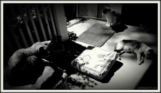 3 cats black/white