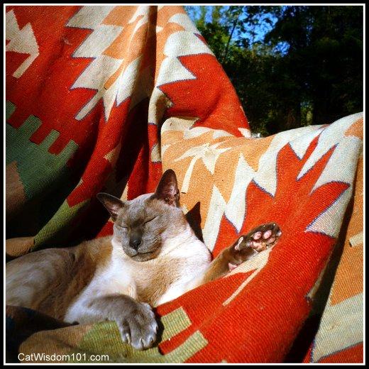 Siamese cat napping sun