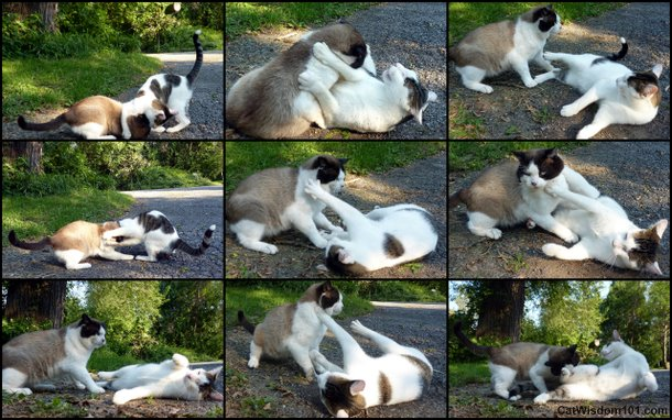 cats-wrestling-playing