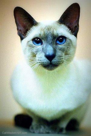 siamese-kitten-merlin-cat wisdom 101