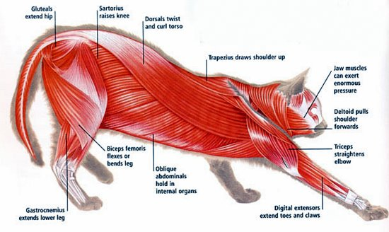 feline-anatomy-muscle-groups