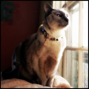 Siamese-merlin-magic-collar-cat-rockspirt designs