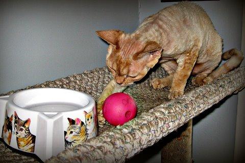 Good Cat! Steve Dale-Roxy-Devon Rex- Cat Wisdom 101