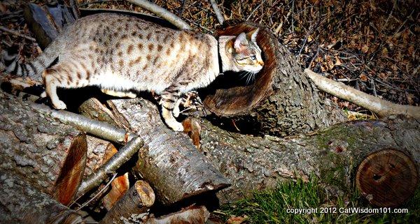 Mystery miss-bengal- cat- cat wisdom 101