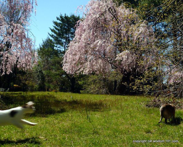 cat-playing-pouncing-prey-spring -cherry blossoms-cat wisdom 101