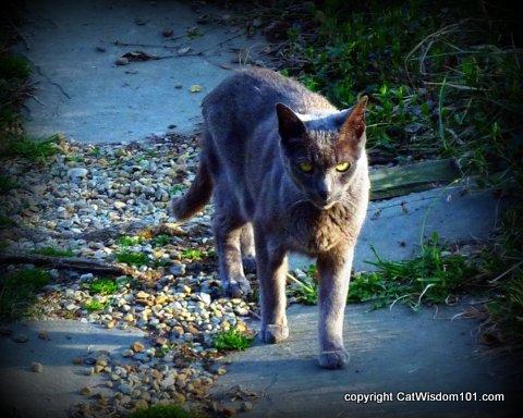 vet-visit-gris gris-cat wisdom101