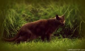 Gris Gris-hyperthyoidism-cats-feline