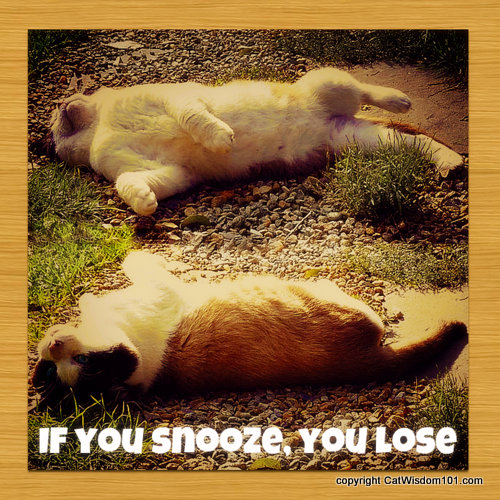if you snooze you lose-quote-cute-cat