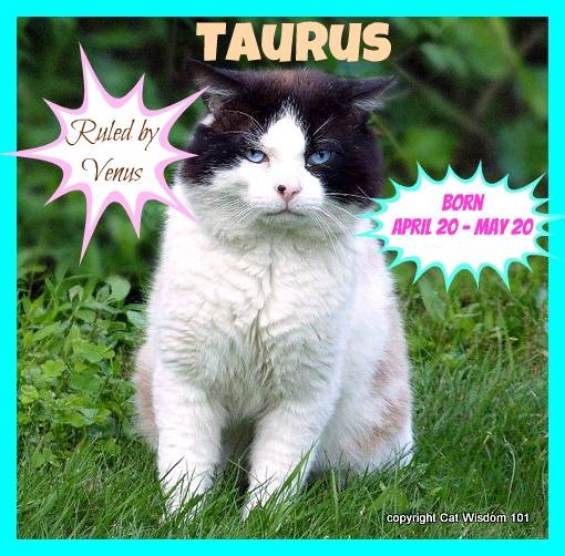 taurus-cat-domino-cat wisdom 101