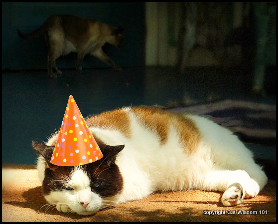 Gatekeeper-cat-domino-party FIV+ Former Feral Domino's 15th Birthday