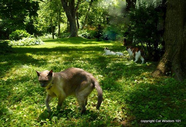 June-cats-garden FIV+ Former Feral Domino's 15th Birthday