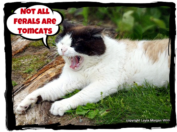 Tomcat-domino-cat-feral-unneutered