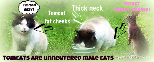 Tomcat-feral-secondary-sexual characteristics