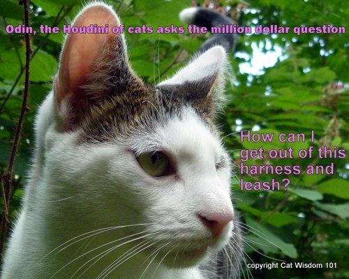 houdini-odin-cat-lol