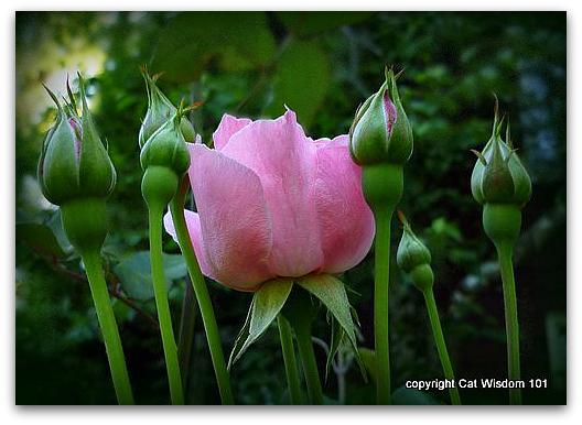 june-roses-pink-garden-wisdom
