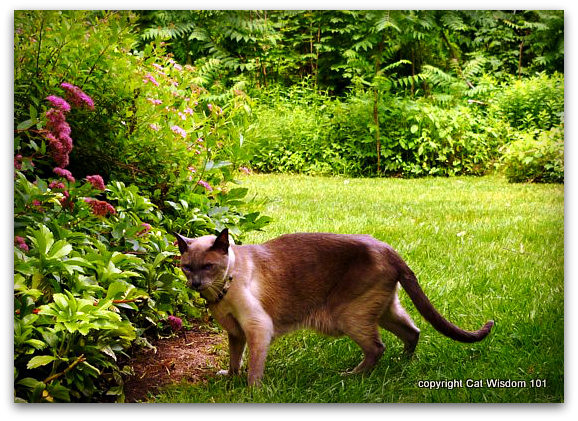 merlin-cat-siamese-garden