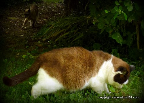 Domino-merlin-hunting-cats-grass