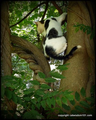 Odin-tree-climbing-agility-cat