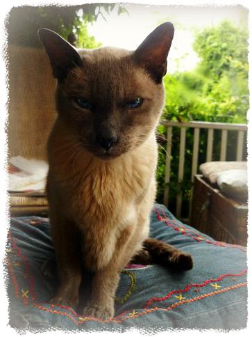 merlin-porch-cat-siamese-geriatric