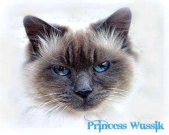 Princess Wussik-Inspiration-The Dalai Lama's cat-himalayan