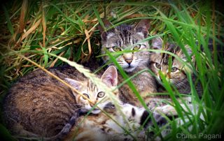 feral-cats-kitten-mother-chriss pagani