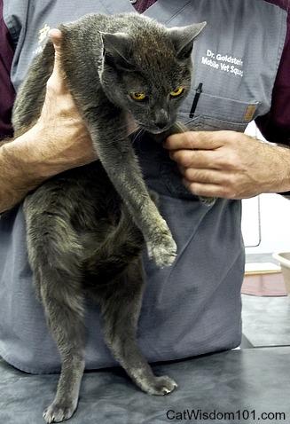 Vet-dr.goldstein-gris gris-cat-exam
