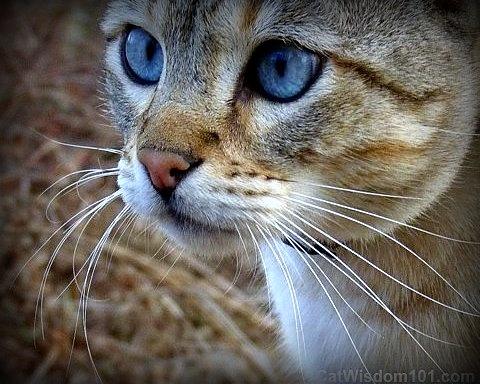 cat-feline portrait-bengal