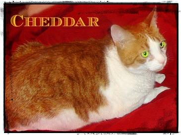 Cheddar-cat-FLUTD-Kathryn Esplin