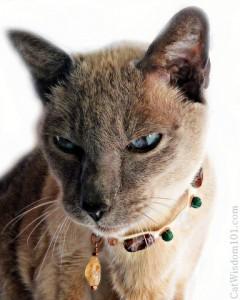 vet 101-kidney-cat