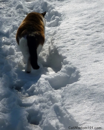 snowshoe cat in snow