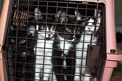 kitten-transport-foster