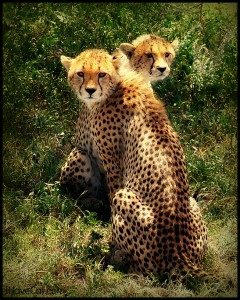 African-cheetahs-tanzania-big cats-ihavecat