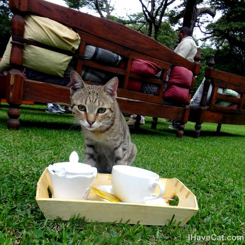 African-domestic-cat-kitty tea-safari