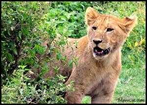 African-lion cub-ihavecat