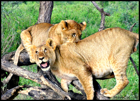 African-lion cubs-safari- I Have Cat