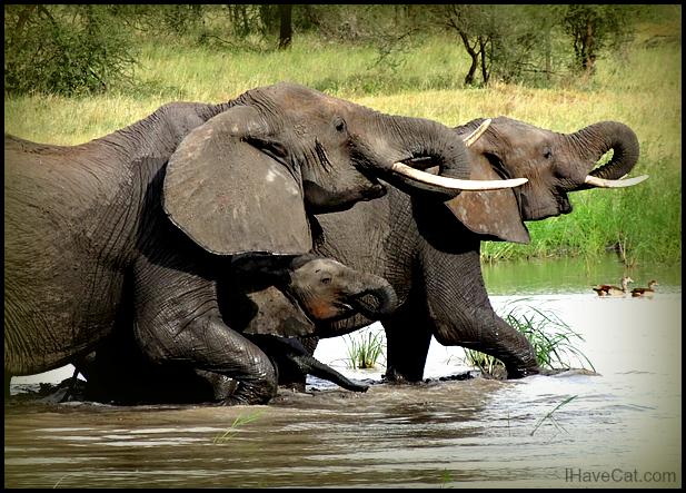 African-safari-elephants-tanzania-ihavecat