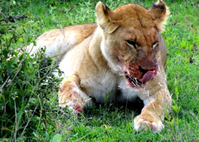 African-safari-lion-feeding-big cats-ihavecat