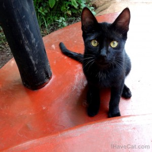 African-tanzania-domestic-cat-black